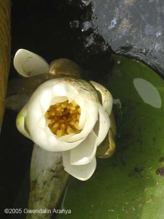 waterlilies 10
